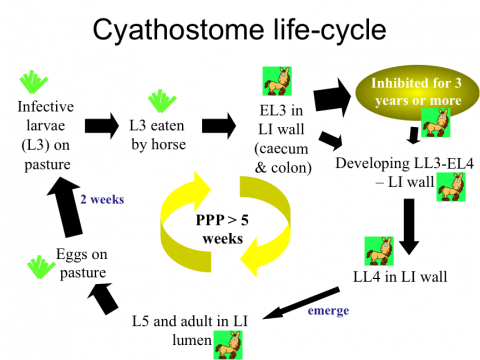 Cyathostome life-cycle