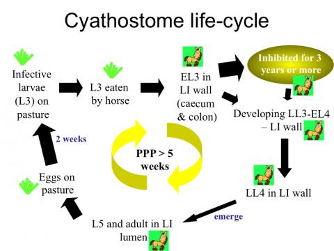 Cyathostome life-cycle