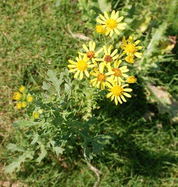 Central Equine - Ragwort